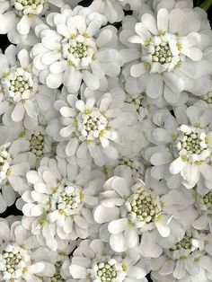white iberia #flowers #blooms