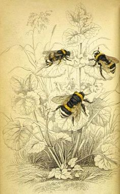 'Common humble bee', from The Naturalist's Library 1840