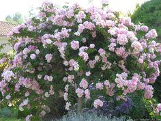 11 Best Tree Roses Images Rose Trees Weeping Trees Flowers