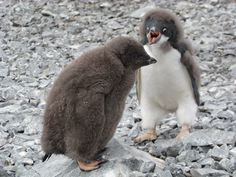 How cute are these penguin chicks while they're moulting?