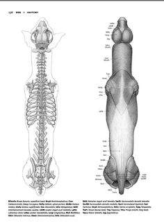 """zoocanvas: """" From Animal Anatomy for Artists by Eliot Goldfinger """""""