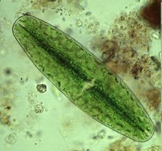 A simple guide to small and microscopic pond life - main page, major freshwater groups