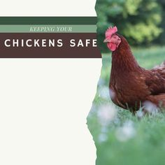 Welcome to Day 3 of chicken week! Today we are excited to be discussing ways to keep your hens safe and healthy. One of the most important aspects of owning chickens is to ensure you protect them from predators. Let us know below if you have found this information helpful and if you would like to see more posts like this from us. Stay tuned for tomorrows post on Chicken Health! Chicken Feed, Chicken Runs, Gap Looks, Domestic Cleaners, Farm Fun, Keeping Chickens, Girl Running, Chickens Backyard, Wild Birds