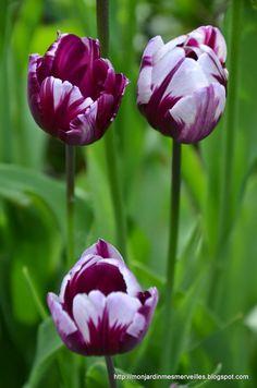 Tulip 'Zurel'