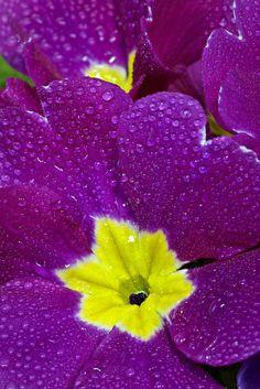 115 best purple and yellow images on pinterest yellow purple african violet saintpaulia ionanti by matthew graham photography mightylinksfo