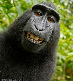 The now famous image of a black female macaque monkeyhas been viewed millions of times on the internet; the monkey, on the island ofSulawesi, commandeered the camera ofBritish wildlife photographer David Slater
