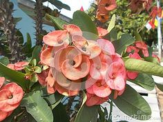 Euphorbia milii flower on the tree pink