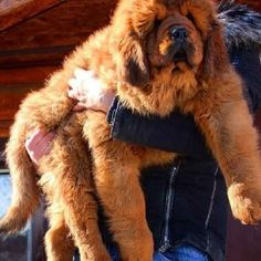 Tibetan Mastiff Puppies For Sale In Hyderabad Mastiff Puppies