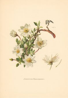 1954 Mountain Avens Vintage Botanical Lithograph by Craftissimo