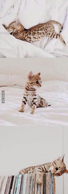 Bengal Kitten. Oh em gee