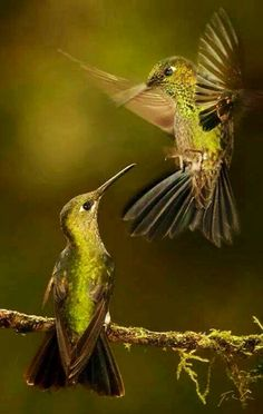 A love we shared, the humble hummingbird. She once stated that the hummingbird… Pretty Birds, Love Birds, Beautiful Birds, Animals Beautiful, Cute Animals, Wild Animals, Baby Animals, Photo Chat, Tier Fotos