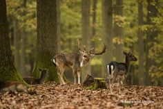 A bull fallow deer groans and snorts during the rut, or mating season, in the Betzenberg Wildlife Park in Kaiserslautern, Germany, Oct. 27, 2014. (Joshua L. DeMotts/Stars and Stripes)