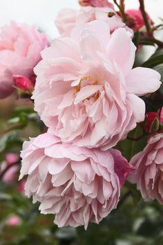 laura ashley roses - Buscar con Google