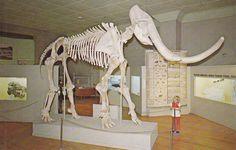Columbian Mammoth- University of Nebraska Trailside Museum- Fort Robinson, Nebraska- 1960s Vintage Postcard- Unused by EphemeraObscura on Etsy https://www.etsy.com/listing/158894103/columbian-mammoth-university-of-nebraska