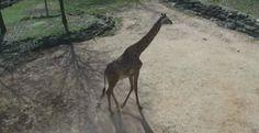 Greenville Zoo - Giraffe Paddock