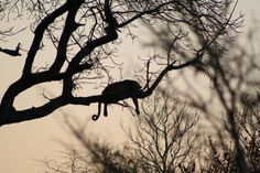 In silhouette, Kruger National Park
