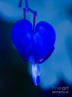 Blue bleeding heart. I totally want one of these! I never knew there was blue!