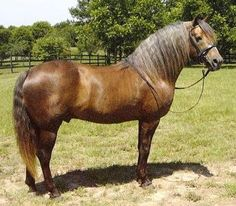 """Mineral's Just In Gold"",  sooty palomino Morgan stallion owned by Diane Grover of Texas Dandy Morgans in Paige, TX."
