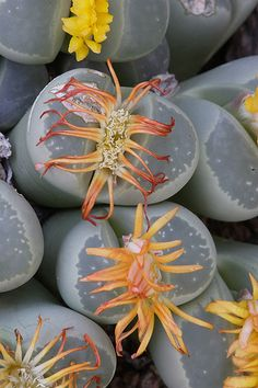 Blooming Lithops at Desert Botanical Garden by desertbotanicalgarden
