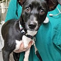 West Palm Beach Florida, Foster To Adopt, Pet Adoption, Pitbulls, Dog Cat, Terrier, Meet, Type, Medium