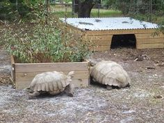 I have seen numerous suggestions for Russian tortoise diet Some great Some awful. Russian Tortoises are nibblers and appreciate broad leaf plants. Tortoise House, Tortoise Food, Tortoise Habitat, Turtle Habitat, Sulcata Tortoise, Tortoise Care, Giant Tortoise, Tortoise Turtle, Tortoise Run