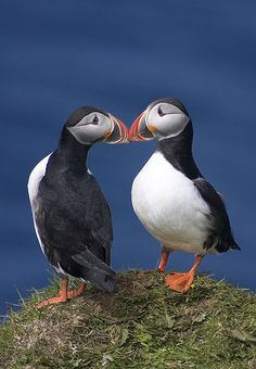 Kissing puffins Most puffins start breeding when they are five years old and often live for more than 20 years. Some young, inexperienced birds may change mates after breeding failures but most will mate with the same partner for many years. Pretty Birds, Love Birds, Beautiful Birds, Animals Beautiful, Animals Kissing, Cute Animals, Sea Birds, Wild Birds, Horse Pictures