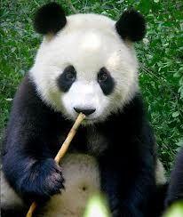 panda bears - Google Search