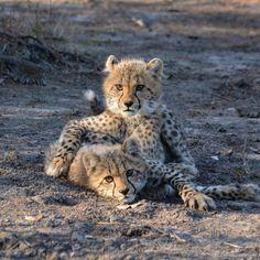 Sweet safari-siblings at Singita! Animals And Pets, Baby Animals, Cute Animals, Wild Animals, Beautiful Cats, Animals Beautiful, Baby Cheetahs, Cheetah Animal, African Animals