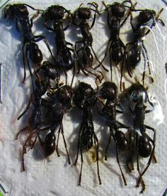 """10 lot of Huge Bullet Ant Paraponera clavata 20-25mm 1"""" FAST SHIP FROM USA"""
