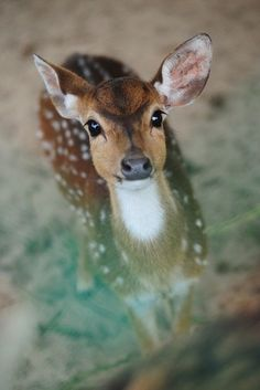 Doe a deer.a wee little baby deer Cute Creatures, Beautiful Creatures, Animals Beautiful, Pretty Animals, Nature Animals, Animals And Pets, Wild Animals, Green Animals, Forest Animals