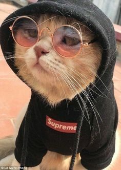 One adorable feline from Vietnam has become a social media star after being pictured minding a seafood stall while wearing an imperial style costume at a farmers' market. See how many cute cat pictures are on this website Cute Baby Animals, Funny Animals, Kittens Cutest, Cats And Kittens, Kittens Meowing, Fluffy Kittens, Fluffy Cat, Gatos Cool, Funny Animal Pictures