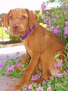 Lavendar and vizsla my favorites Weimaraner, Vizsla Puppies, Vizsla Dog, Vizsla Funny, Funny Dogs, Best Dog Breeds, Best Dogs, Zoo Animals, Cute Animals