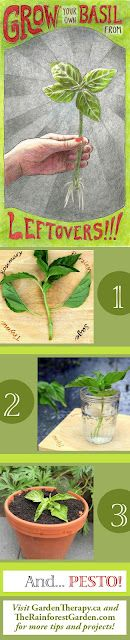 Grow your own basil from leftovers via www.therainforestgarden.com . #DIY #cooking #gardening