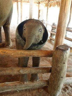 Baby Khai Wan playing with a tire at the Thai Conservation Center:) #elephant #conservation