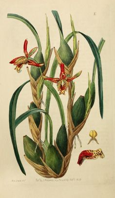 Maxillaria Tenuifolia botanischer Druck - Ode to Orchids - Orchidee Vintage Botanical Prints, Botanical Drawings, Botanical Illustration, Vintage Prints, Bag Illustration, Botanical Flowers, Botanical Art, Poster Size Prints, Art Prints
