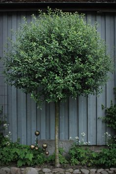 Prunus x eminens 'Umbraculifera' Trees And Shrubs, Trees To Plant, Garden Trees, Garden Plants, Small Gardens, Outdoor Gardens, Baumgarten, Love Garden, Contemporary Garden