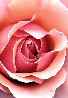 rosebud3