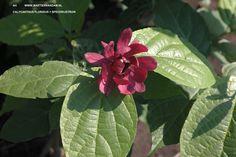 Calycanthus floridus = specerijstruik, tot 3 m. hoge heester die pittig ruikt (kruidnagel) en de roodbruine bloemen  hebben een  fruitig geurtje (lijkt op aardbei). Heeft een plek in de zon nodig en vruchtbare grond.