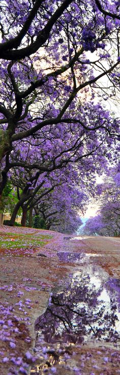 Jacaranda Trees in Bloom and View of a Street After Rain, Pretoria South Africa