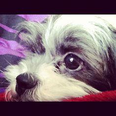 Rivers. #shihtzu #puppy #adorable