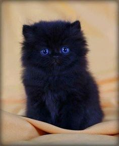 Cutest black kitten ever!it) submitted by to /r/blackcats 0 comments original - - Cute Kittens - LOL Memes - in Clothes - Kitty Breeds - Sweet Animal Pictures by Visualinspo Pretty Cats, Beautiful Cats, Animals Beautiful, Cute Cats, Adorable Kittens, Cat Fun, Cute Fluffy Kittens, Fluffy Cat, Gorgeous Eyes