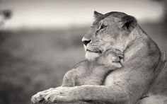 Funny pictures about Lioness And Cub. Oh, and cool pics about Lioness And Cub. Also, Lioness And Cub photos. Animals And Pets, Baby Animals, Cute Animals, Funny Animals, Cute Animal Photos, Animal Pictures, Beautiful Creatures, Animals Beautiful, Llamas Animal