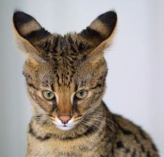 Savannah Cat - In April 1986 Judee Frank, a Bengal breeder, crossbred a male Serval with a Siamese cat. The Serval belonged to Suzi Woods. The result was the first Savannah cat, aptly named Savannah.