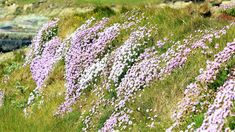 Clare: banks of thrift at the Grave of the Yellow Men. Irish Landscape, History Photos, Flora And Fauna, Natural History, Thrift, Banks, Ireland, My Photos, Yellow