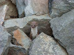 Mustela nivalis - Least Weasel
