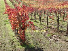 Vineyard morning by DesertsandBeyond on Etsy