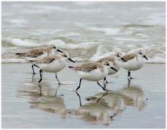 Sandpipers in the Surf Coastal North Carolina by orangecatart