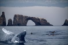 Image detail for -Grey Whale at Anacapa Island, Southern California by RitaD ...