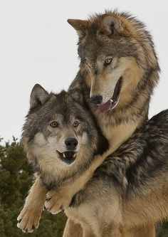 Wolves - just good friends - Alpha male and female having a love-in high up in the mountains in Montana