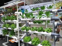 Hydroponic gardening or hydroponics is the science of growing plants using only nutrient-rich liquid as a soil replacement. Learn about hydroponics here. Aquaponics System, Aquaponics Greenhouse, Aquaponics Fish, Hydroponic Gardening, Organic Gardening, Hydroponic Solution, Hydroponic Lettuce, Container Gardening, Cool Things To Make